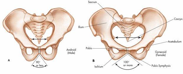 biology-forum-pelvis